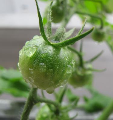 Grüne Tomate im Regen