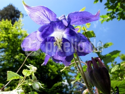 Blau blüht am Schönsten