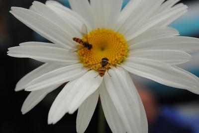 Blüte mit kleinenFliegern
