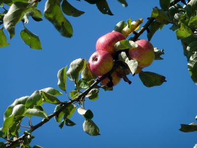 Apfelernte ..