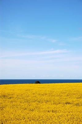 Rapsfeld am Meer