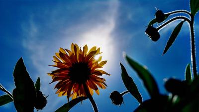 Topinambur in Blütenpracht