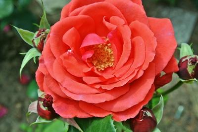 rotrose im hochsommer