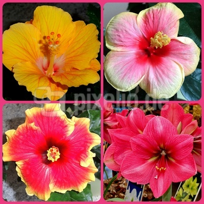 Hibiskus-Blüten (Collage)
