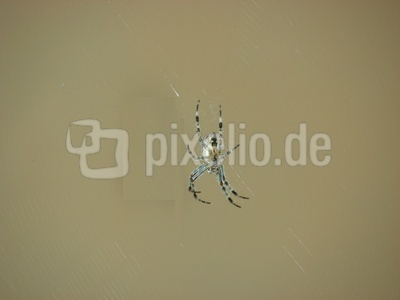 Radnetzspinne