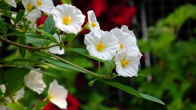 Weißes Enzianbäumchen