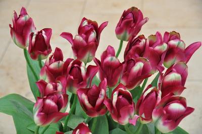 Tulpen Pink