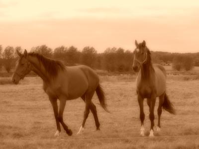 2 Pferde auf Langeland