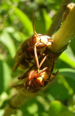 Hornissen trinken Baumsaft