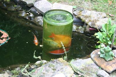 Kostenloses foto fische im teich for Welche fische in teich
