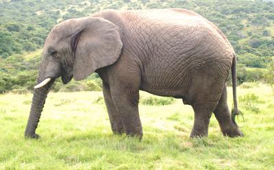 Elefant in Südafrika 2