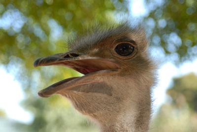 Strauß in Südafrika