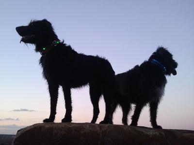 Hunde im Sonnenuntergang 1