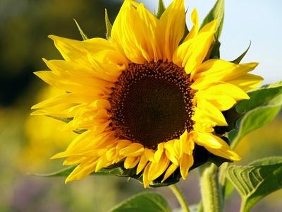 Das Lachen der Sonnenblume