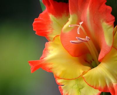 Gladiolenblüte