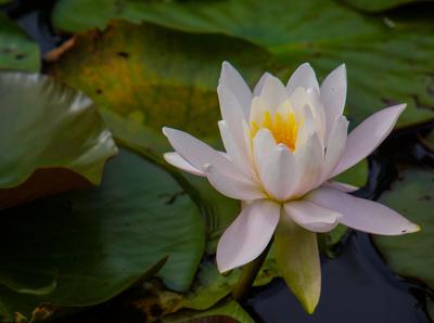 Wasserrose in schöner Blüte