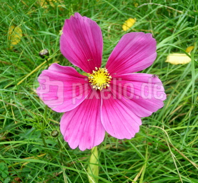 Letzte Blüte auf der Wildwiese