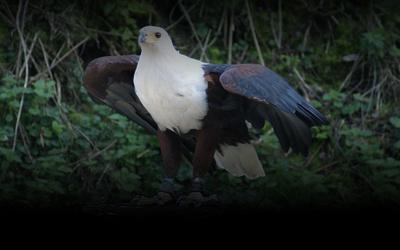 ein greifvogel