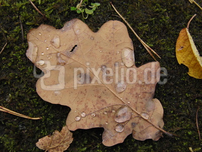 Eichelbaltt im Herbstregen