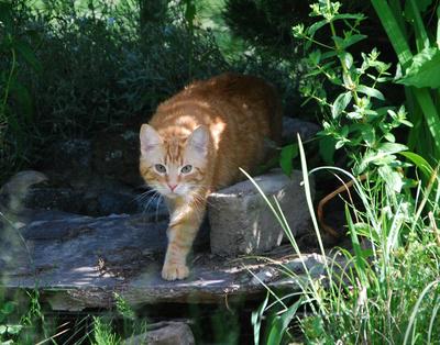 Roter Tiger