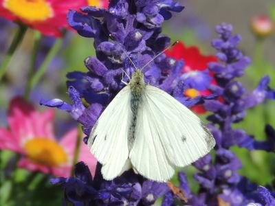 Weißer Schmetterling auf blauer Blüte