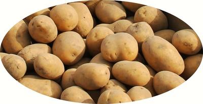 Kartoffelvielfalt 01 - Marabel