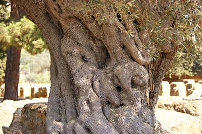 Sehr alter Olivenbaum