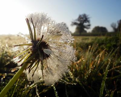Herbstmorgen mit Pusteblume