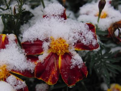 Tagetes mit Schnee