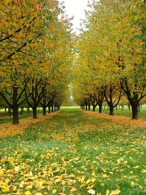 Kirschbaumreihen im Herbst