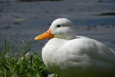 Ente in weiß!