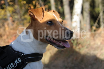 Parson Jack Russell Pete 2