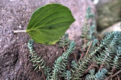 letztes grünes Blatt