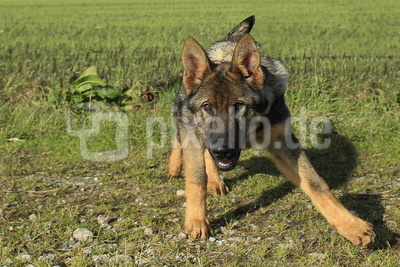 wolfserbe