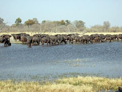 Kaffernbüffel am Okavango