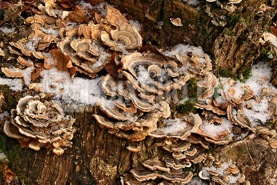 Baumpilze im winter