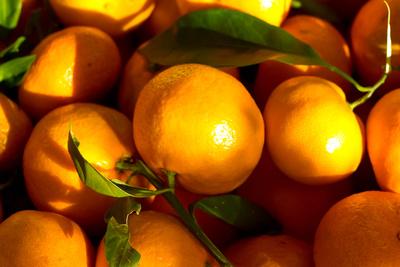 Mandarinen direkt vom Baum gepflückt