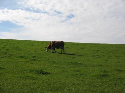 Die letzte Kuh auf der Weide.....