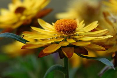 Blume-0106