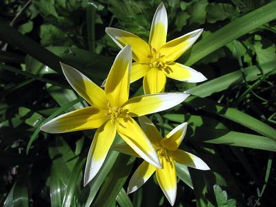 Wilde Tulpen Tulipa tarda  Zwerg Stern Tulpe