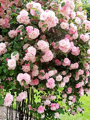 Dortmund Rosarium Rose Indra