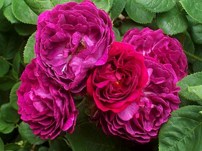 Rosarium Dortmund Rose Historisch unbekannt