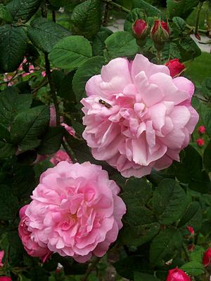 Rosarium Dortmund Rose Historische unbekannt