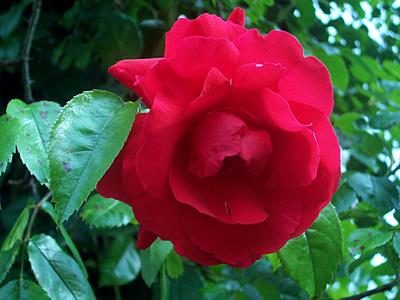 Rosarium Dortmund Rose Rot unbekannt
