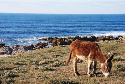 Marokko - Esel an der Atlantikküste bei El Jadida