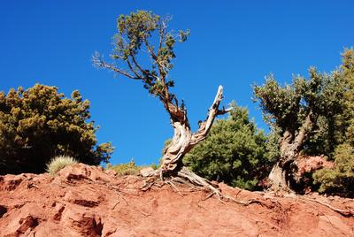 Marokko - Knorriges auf dem Weg im Hohen Atlas