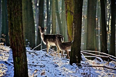 Damwild im Winterwald