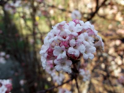 Schneeball Blüten