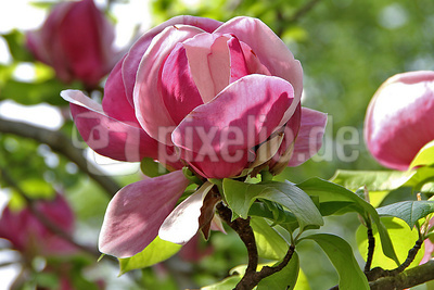 Blume-0125