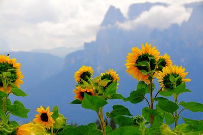 Sonnenblumen im Hochgebirge